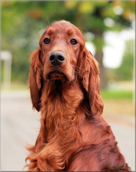 red setter dog rehoming love them animals pinterest love