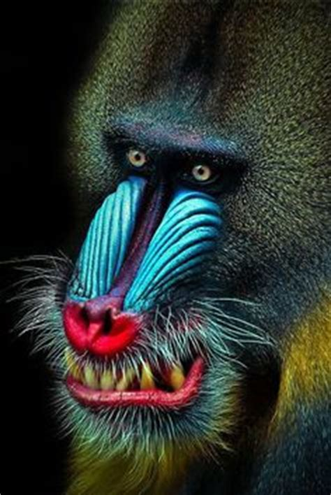 Song And Forest Spiral Notebook 1000 images about just mandrills on baboon