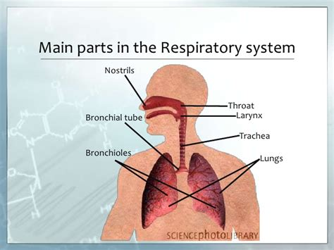 what are the two main sections of an html document the respiratory system