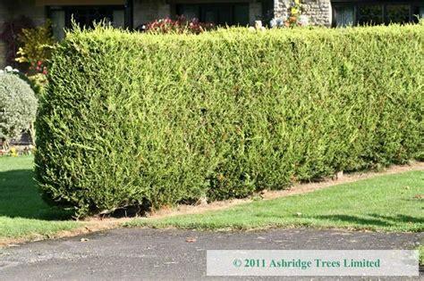 is leyland cypress still the tree to plant i think not cypress leylandii hedging order online ashridge nurseries