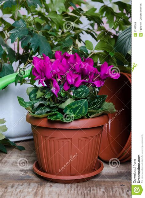 ciclamini in vaso ciclamino in un vaso di fiore fotografia stock immagine