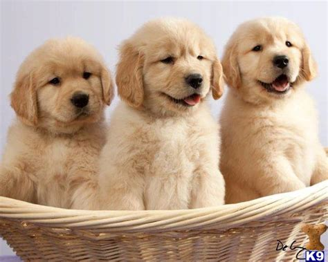 pics of golden retriever puppies for sale golden retriever puppies for sale wallpaper