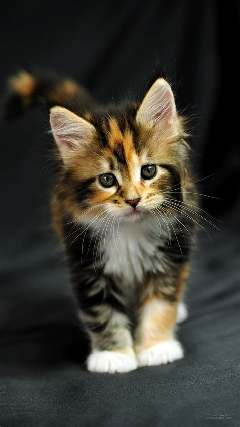 Tiger Rainbow Color Iphone All Hp 1440 x 2560 maine coon tricolor kitten majestic largest
