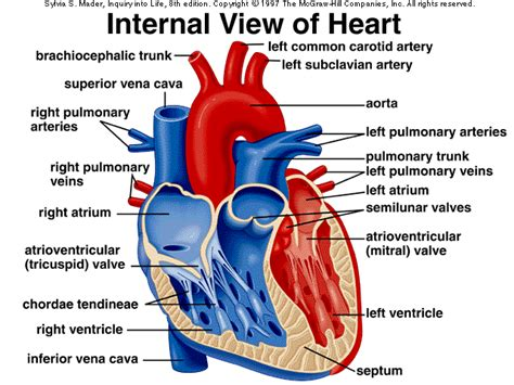 sectional anatomy of the heart anatomy of cardiovascular general knowledge of anatomy