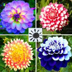 dahlia colors popular dahlia flowers buy cheap dahlia flowers lots from