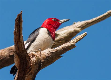 red headed woodpecker red headed woodpecker pictures red headed woodpecker melanerpes erythrocephalus