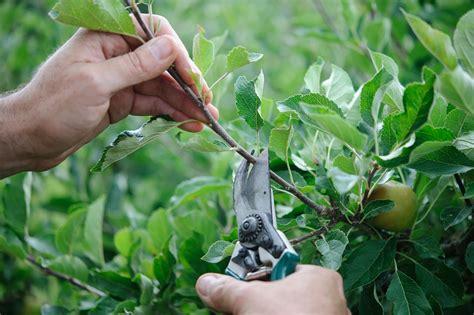 fruit trees in pruning fruit trees in summer gardenersworld