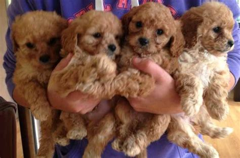 cavoodle puppies puppies free to a home melbourne dogs for sale puppies breeds picture