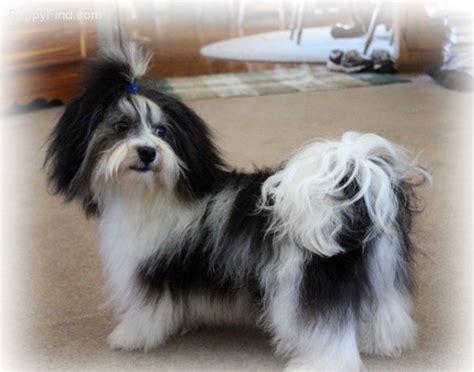 when do havanese puppies stop growing bathing alabama havanese