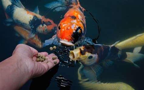 What To Feed Feeder Fish how much should i feed my aquarium fish