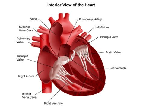 the four hollow sections of the heart mrs rachel lehming s biology classes the heart the