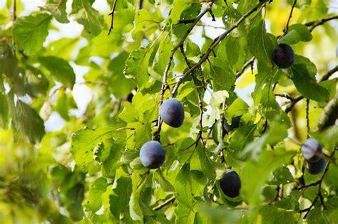 tree ripened fruit plums plum tree harvest ripe fruit tree fruit