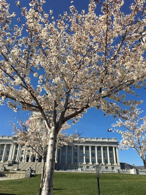 cherry tree utah the cherry blossoms at the utah state capitol the arrival of