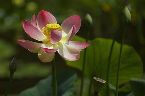 lotus garden santa barbara