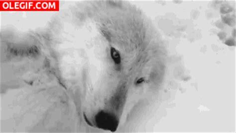 imágenes gif de amor para whatsapp gif este lobo se ha escurrido en la nieve y no se pude
