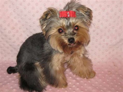 yorkie hair cut styles yorkie hair styles haircut exles hairstyles ideas