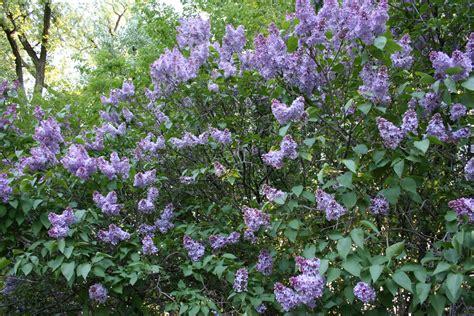 lilac bush lilacs minnesota prairie roots