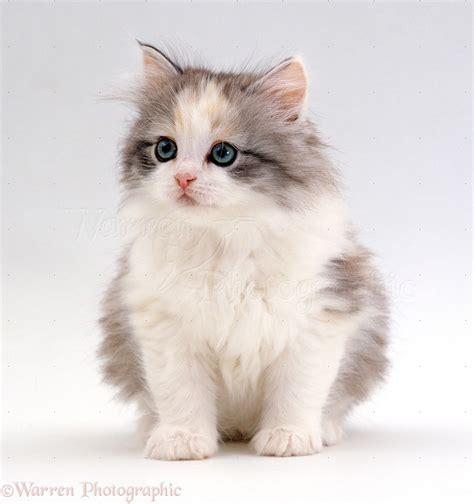 white fluffy fluffy kitten wallpaper
