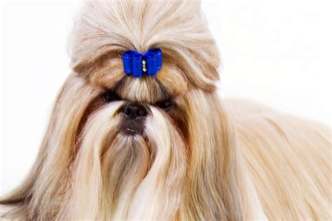 shih tzu shoo shih tzu breed information american kennel club