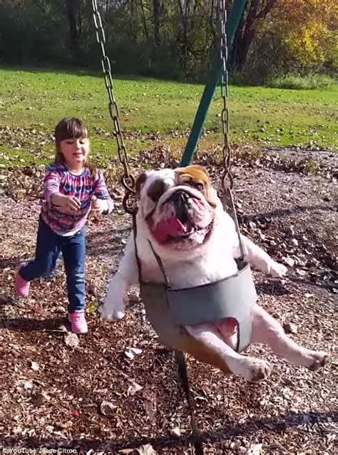 bulldog in a swing hilarious video of english bulldog being pushed in a