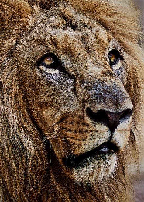 imagenes de leones viejos bostezo daniel ruiz