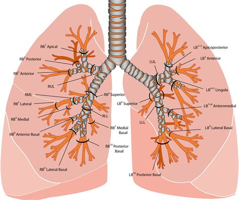 the human lungs diagram lungs diagram www pixshark images galleries with a