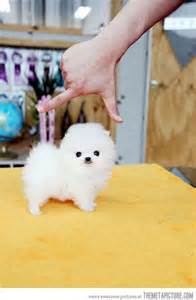 It s so fluffy this is why people love pocket dogs