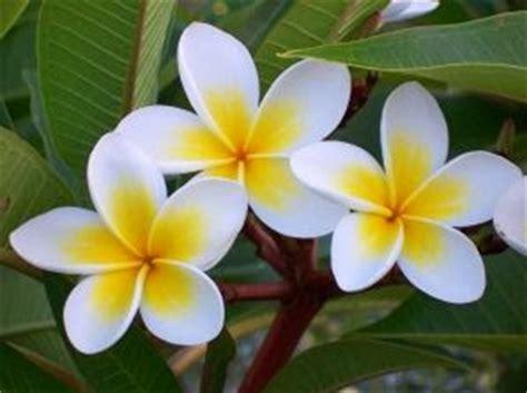 menanam bunga kamboja