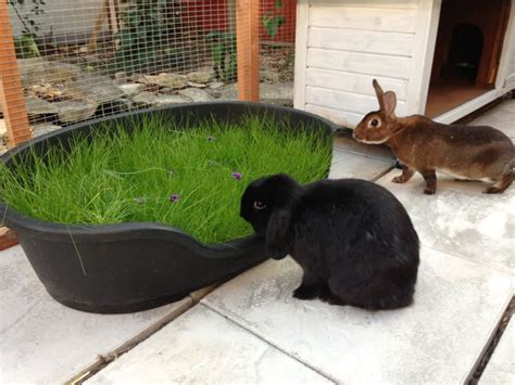 indoor garden for rabbits bunnies and their grass rabbits united forum
