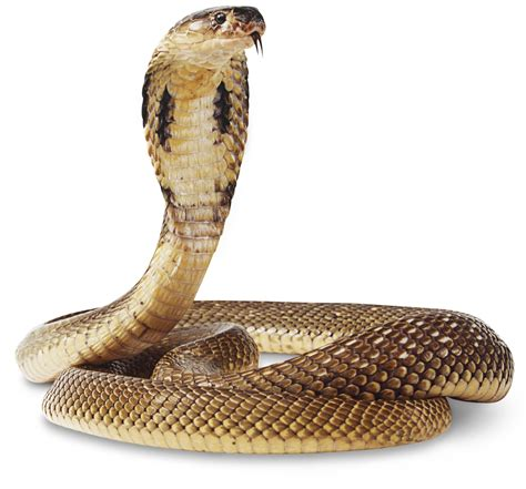 Cobra Snake by Cobra Snake Facts Cobra Snake Information Dk Find Out
