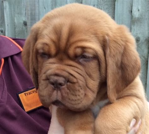 what of is turner and hooch turner and hooch puppies for sale birmingham west midlands pets4homes