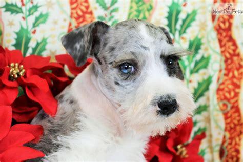 schnauzer puppies colorado miniature schnauzer puppies for sale in colorado springs breeds picture