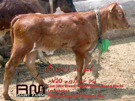 Cow Mix cow mix breed with friesian breed wachi rm dairy farm