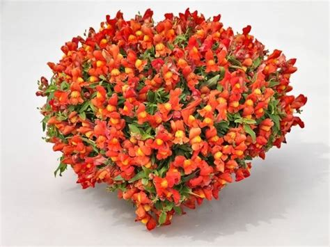 Bibit Benih Seeds Snapdragon Mix Bouquet Flower 330 best images about flowers snapdragons antirrhinum on garden seeds pictures