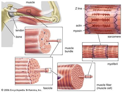 striated cell diagram image gallery structure