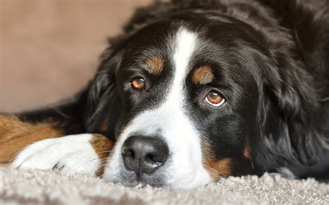 puppy concussion home treatment for in dogs best pet home remedies