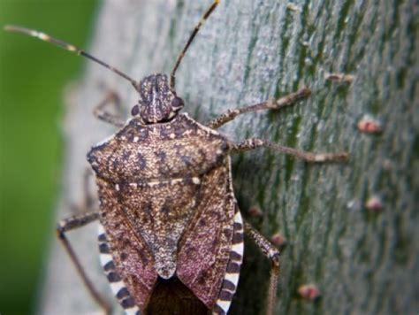 bed bug natural predators seeking stink bug s natural enemies fruit vegetable