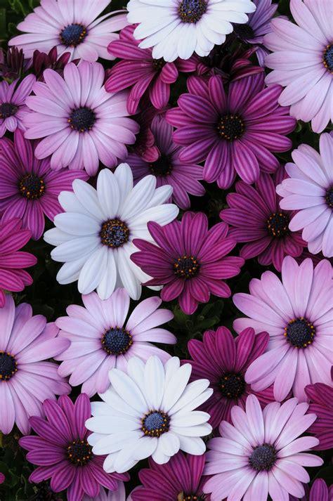 imagenes de flores we heart it variedad margaritas coquetas clase dise 241 o floral