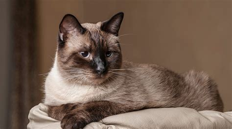 8 Reasons To Get A Siamese Cat by Balinese Cats