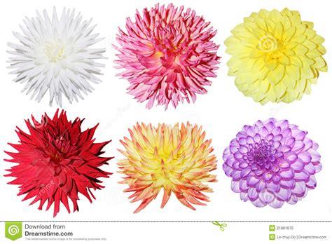 Set Dahlia dahlia set stock photo image 21881870