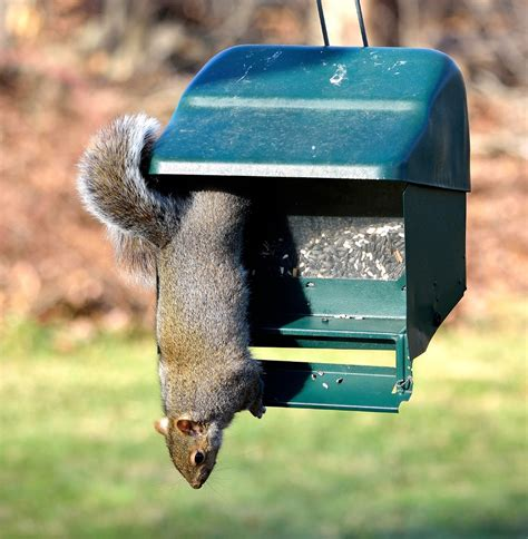bird feeders squirrel proof droll yankees squirrel
