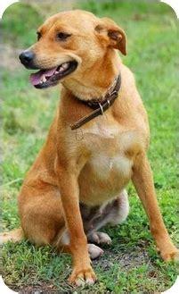 carolina golden retrievers adopted inman sc labrador retriever