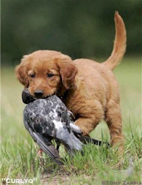 field trial golden retriever puppies adirondac golden retrievers