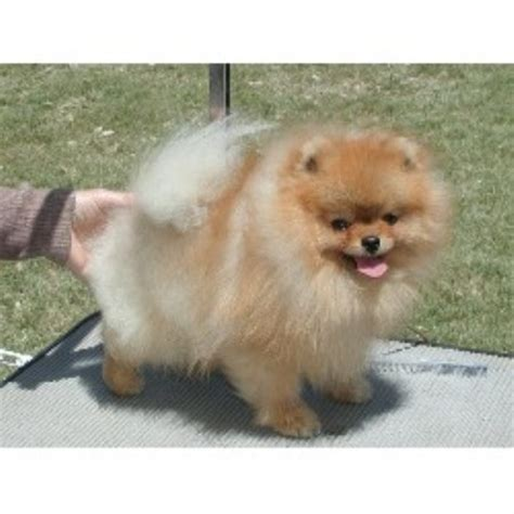 pomeranian california bitsypoms pomeranian breeder in beaumont california listing id 5665