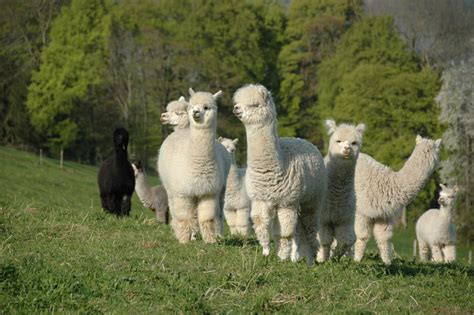 alpaka decken kaufen steppdecke mit alpakawolle