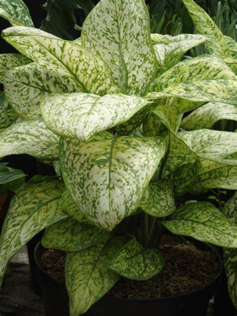 Bibit Bunga Air Mancur Putih shiangmay jual tanaman hias jual desain landscape jual