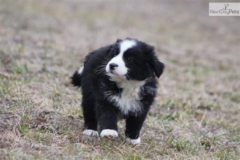 border collie puppies michigan border collie for sale for 399 near grand rapids michigan 3f465cf9 1f31