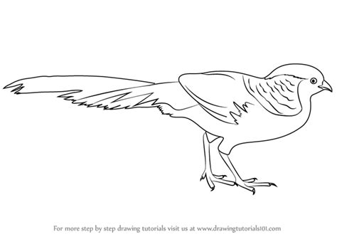 how to a pheasant learn how to draw a golden pheasant birds step by step drawing tutorials