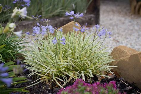 agapanthus gold drop  pot   plants