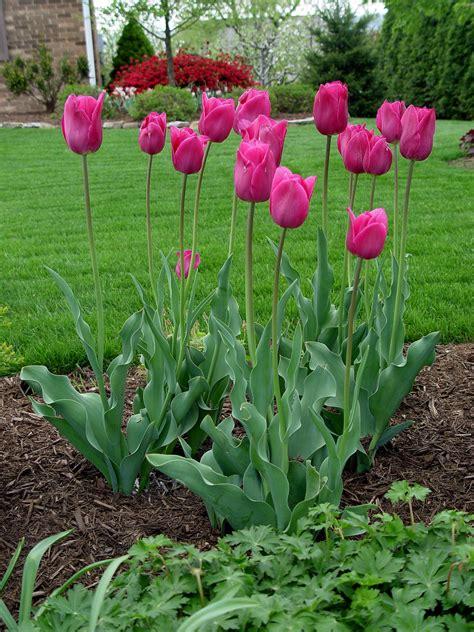 tulip flower garden tulip barcelona garden housecalls